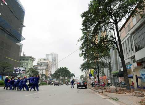 Cây hoa sữa trên phố Nguyễn Chí Thanh mới được trồng khoảng 10 năm, đang xanh đẹp cũng bị triệt hạ