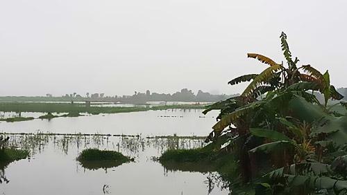 Gần 250 mẫu ruộng ở Mão Chi bỏ cho cỏ mọc trong khi nông dân phải đi thuê nơi khác để gieo trồng - Ảnh: Nam Anh