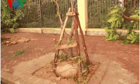 Sở Xây dựng Hà Nội nói gì về cây xanh bị đổ còn nguyên bầu bọc nilon?