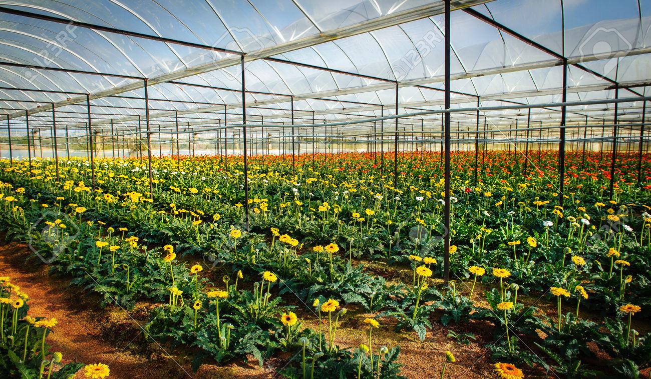 Khu nhà kính trồng hoa xuất khẩu thị trấn Nam Bang, TP Đà Lạt