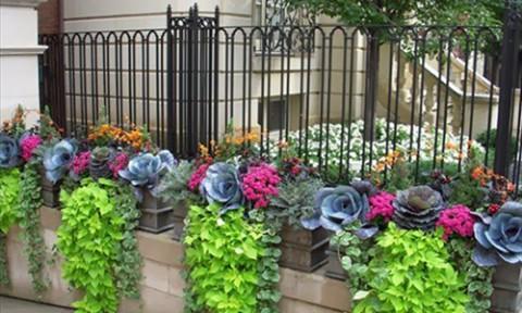 Vườn bắp cải đẹp rực rỡ như hoa hồng