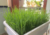 Gia đình Hà Nội thử nghiệm trồng lúa trong nhà