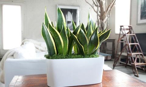 3 loại cây dễ trồng và chăm sóc giúp làm sạch không khí trong nhà