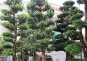 Các loại cây cảnh trang trí nhà hợp phong thủy cho người mệnh Mộc
