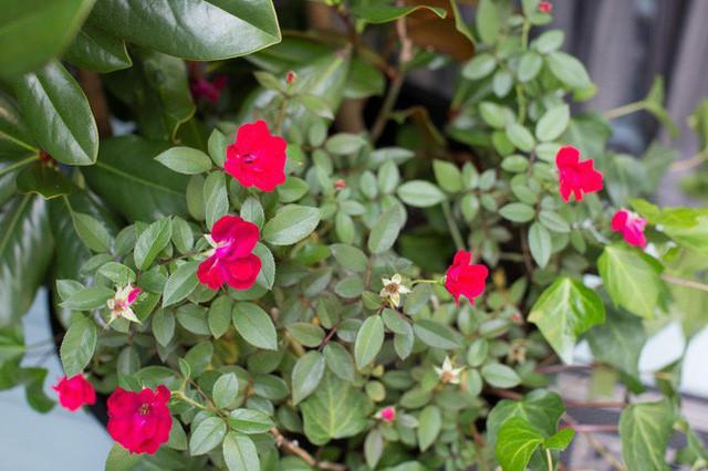 Khóm hoa hồng đỏ rực rỡ sẽ càng đẹp hơn khi được trồng trước hiên nhà