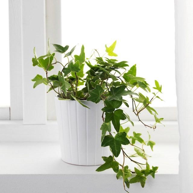 Thường xuân là một trong những loại cây cảnh vừa làm sạch không khí vừa hút tài lộc