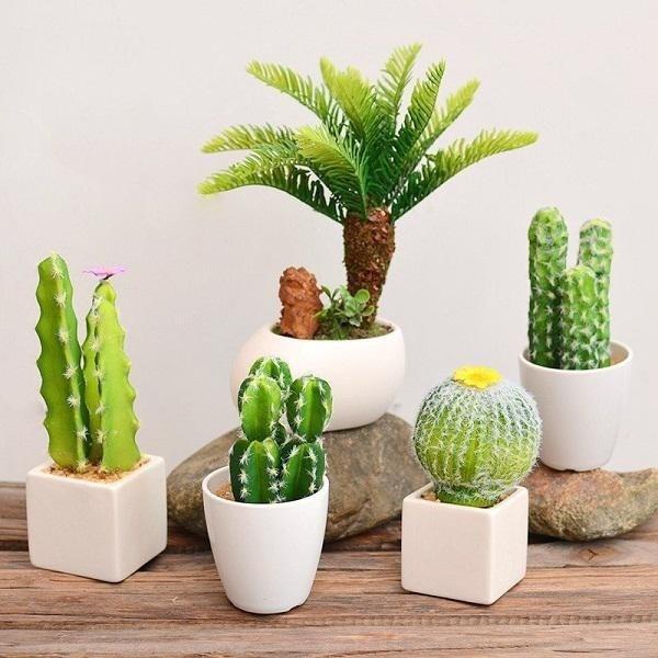 Không nên trồng cây xương rồng trong nhà
