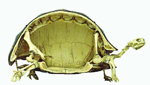 Bộ xương con rùa - Xương và các thớ thịt  chuyển động tự do bên trong phần mai rùa