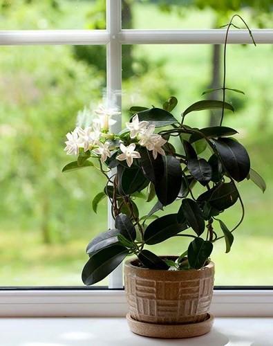 Phòng ngủ: Cây hoa nhài là vật trang trí đáng yêu trên tủ quần áo hoặc bậu cửa sổ. Các nhà nghiên cứu Đức cho biết mùi hương của hoa nhài có hiệu quả làm giảm bớt sự lo lắng và giúp ngủ ngon hơn, nó cũng có khả năng kích thích ham muốn tình dục.