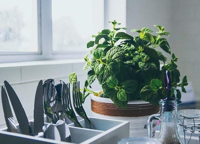 Bếp: Cây bạc hà. Đây là loại thảo mộc dễ trồng nhất, mùi hương nhẹ nhàng, thanh lọc không khí cho căn bếp, cung cấp lá bạc hà tươi cho các món ăn bạn nấu.