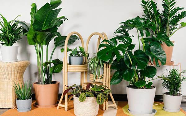 Không chỉ trang trí không gian, cây cảnh còn có khả năng lọc sạch không khí trong nhà