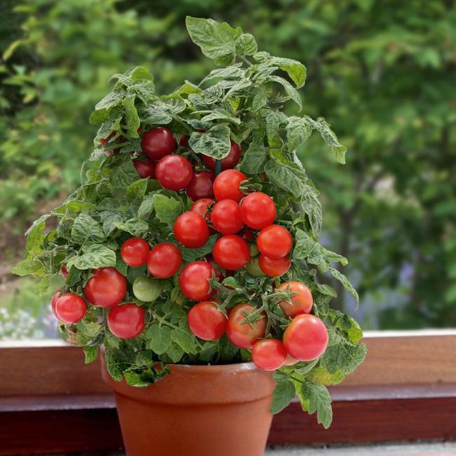 Cà chua là một loại cây tuyệt vời và quan trọng nhất cho một vườn rau nhỏ bé. Chúng trông rất đẹp mắt nữa. Chọn 2-3 giống và trồng vài cây để có được một vụ mùa bội thu của cà chua cây nhà lá vườn nhé!
