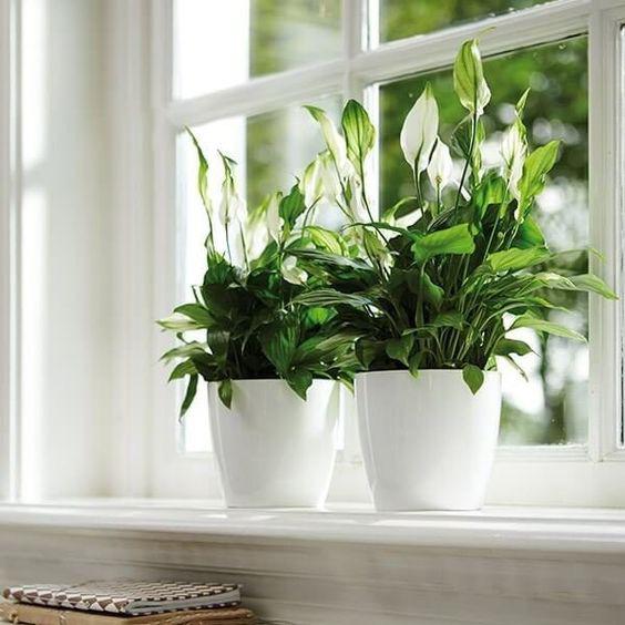 Lan Ý có thể lọc được một số khí độc hại gây ung thư và các năng lượng bức xạ từ thiết bị điện tử. Bởi vậy, cây thường được đặt trong phòng khách hay văn phòng làm việc.