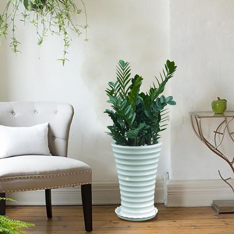Loài cây xanh mượt này thường được dùng làm cây nội thất bởi khả năng phát triển tốt trong điều kiện ít ánh sáng, râm mát và không cần nhiều độ ẩm. Hơn nữa, nó còn là loài cây hút khí độc giúp loại bỏ khí độc và khói bụi.