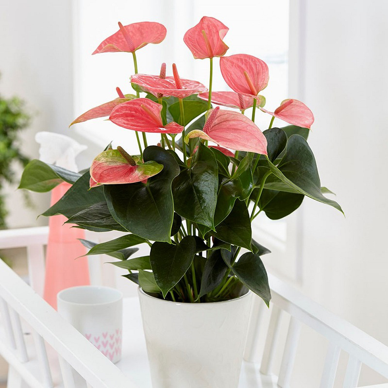 Cây Hồng Môn có thể được đặt ngoài ban công, gần cửa sổ trong phòng khách hoặc phòng ngủ để cây có đủ ánh sáng nà vẫn hấp thu được các chất độc hại trong nhà.