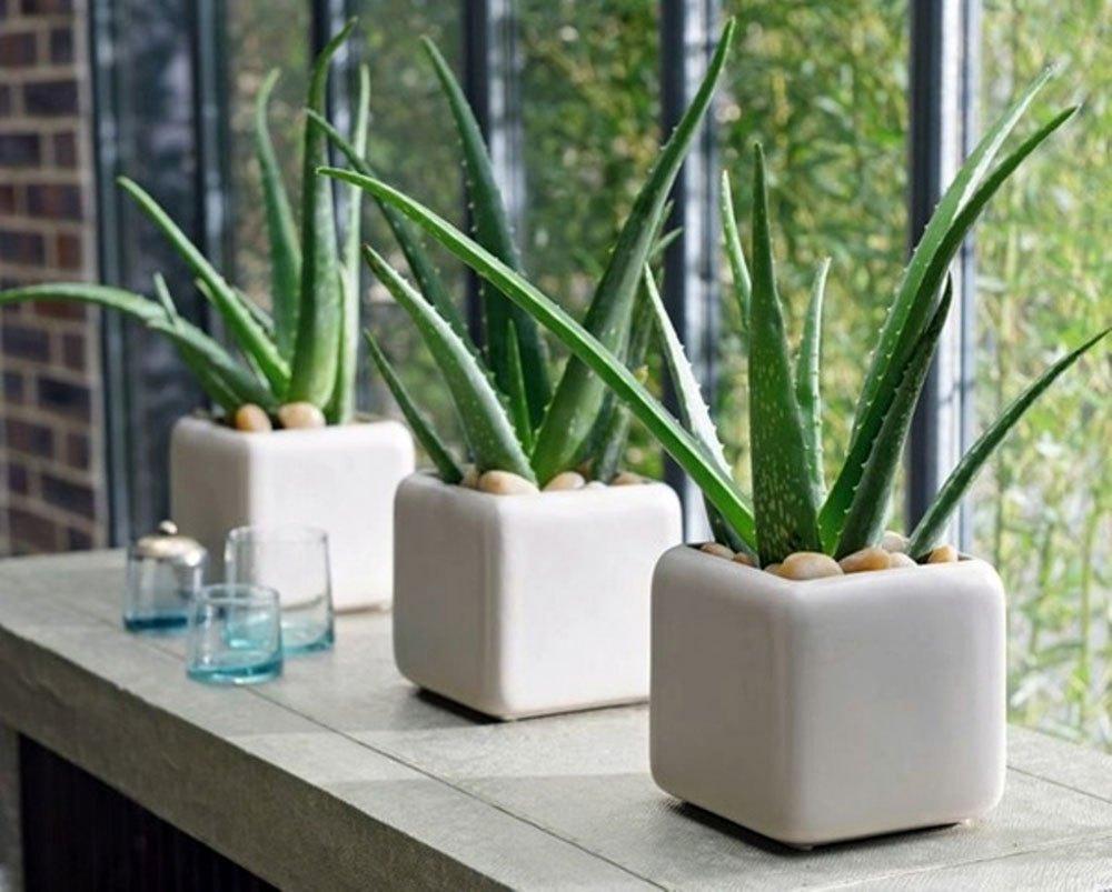 Lô hội là loài cây ưa nắng, vì vậy, đặt những chậu lô hội ở bậu cửa sổ là lý tưởng nhất