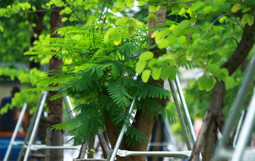 Những hàng cây mới trồng đã và đang phát triển ổn định, dần tạo bóng mát, giảm bớt oi bức trong mùa Hè