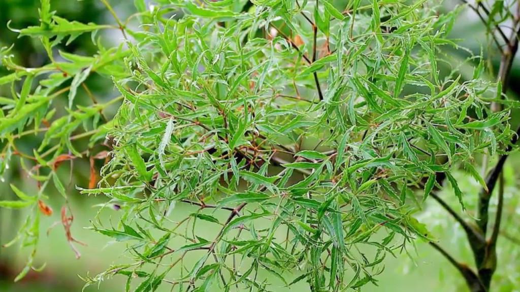 Tuy nhiên, có một điều đáng lưu ý là không được dùng rễ đinh lăng với liều cao, nếu không cơ thể sẽ rơi vào trạng thái say và mệt mỏi