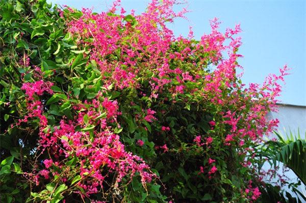 Ti gôn dễ trồng, cần nhiều ánh nắng để ra được nhiều hoa, ưa đất ẩm nhưng cũng chịu được đất khô hạn.