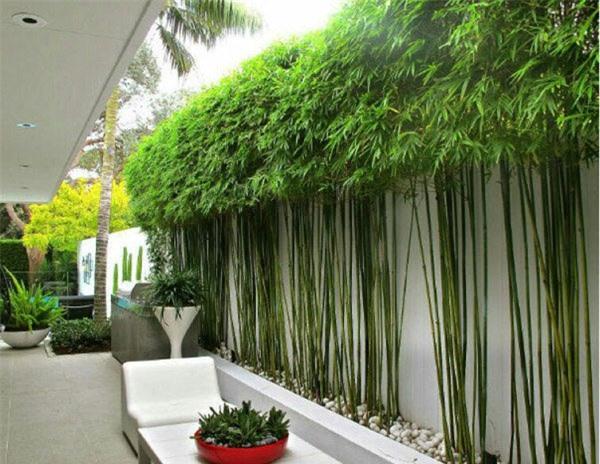 Với những ngôi nhà ở, thông thường gia chủ sẽ chọn loại hàng rào tre, trúc với chiều cao trung bình từ 1m trở lên.