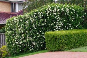 8 loại cây trồng hàng rào tuyệt đẹp