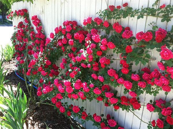 Hoa hồng leo là một trong những loại cây trồng hàng rào được nhiều gia đình chọn để trang trí cổng, sân vườn,... cây ưa ánh nắng mặt trời, có thể trồng bằng hạt hoặc giâm cành, chiết cành.
