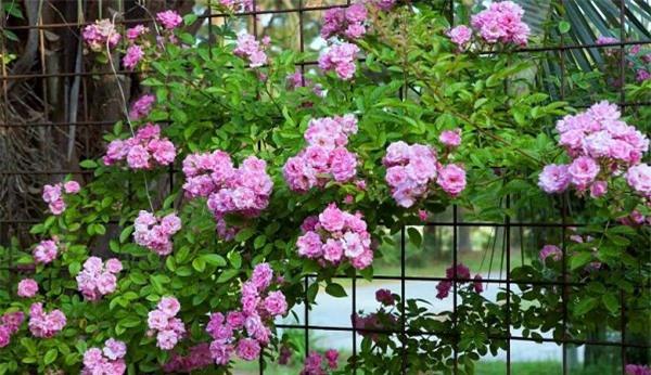 Hoa hồng leo có nhiều màu khác nhau như đỏ thẫm, hồng phớt, hồng tím, trắng, vàng,... đều rất đẹp và rực rỡ. Tốt nhất nên trồng vào đầu mùa xuân, hè, thu để cây hình thành bộ rễ khỏe mạnh trước khi mùa đông đến.