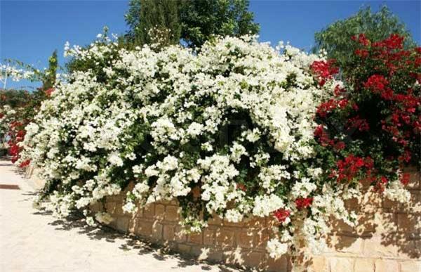 Các lá cây hoa giấy mọc so le, lá đơn hình trứng nhọn mũi, dài 4–13cm và rộng 2–6cm. Hoa thật sự của chúng nhỏ và thường có màu trắng, nhưng mỗi cụm 3 hoa được bao quanh bằng 3 hay 6lávới màu rực rỡ nên thường thấy cả cụm hoa có màu hồng, tím, tía, đỏ, cam, trắng hay vàng.