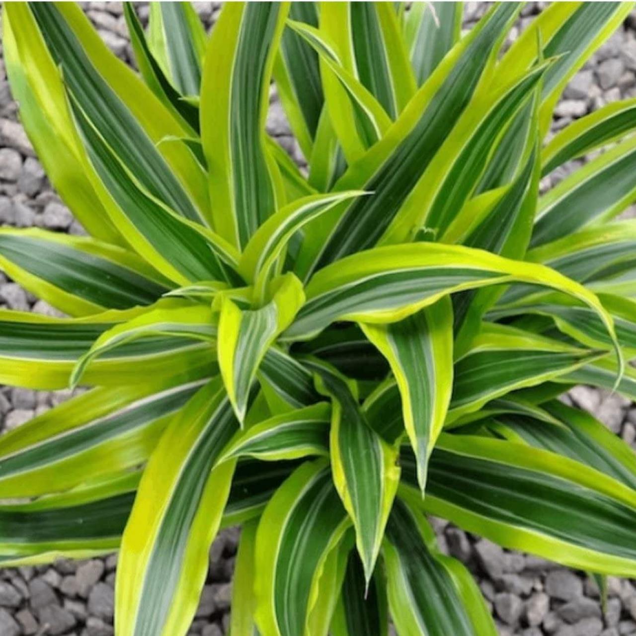 Thiết mộc lan rất dễ chăm sóc, không cần quá nhiều nước. Loại cây này được biết đến là tốt nhất để loại bỏ formaldehyde, xylene, toluene và trichloroethylene.