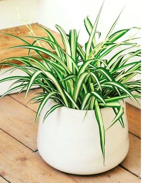 Lan chi là loại cây lý tưởng cho những người mới bắt đầu đam mê cây trồng. Đơn giản vì cây rất dễ trồng, đồng thời đó cũng là loại cây tốt trong việc loại bỏ các chất độc như khí carbon monoxide.