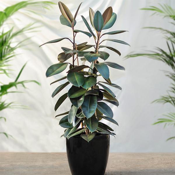 """Loại cây thích hợp đặt trong nhà để loại bỏ khí CO, Formaldehyde và Trichloroethylene có trong không khí. Chúng được gọi là """"cây cao su"""" vì độ bóng sáng trên lá. Để cây phát triển tốt, bạn nên tưới nước và bón phân thường xuyên cho cây."""