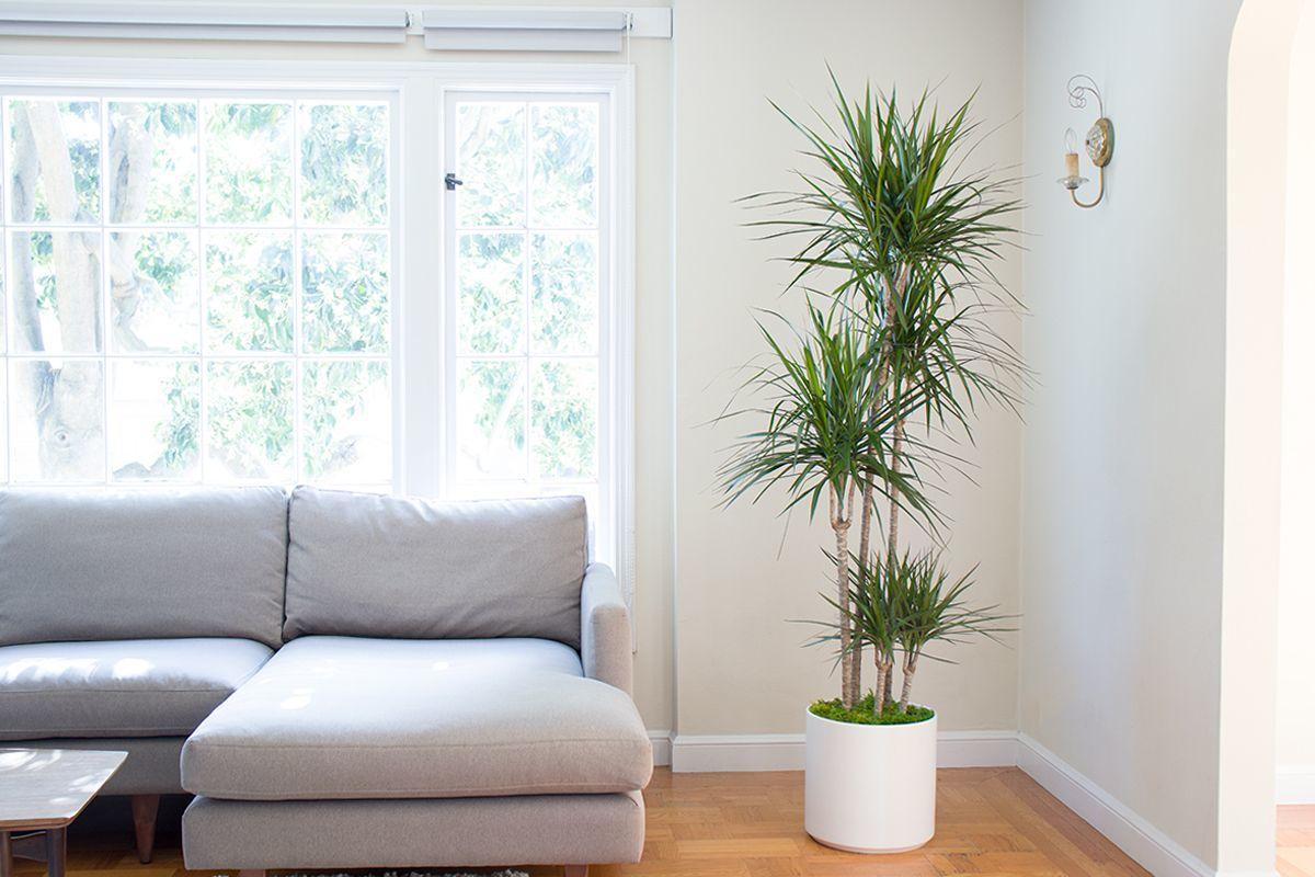 Một trong những giải pháp chính để khử các loại các khí độc như chất xylene, trichloroethylene từ không khí là việc trồng cây phất dụ rồng trong nhà. Đây được cho là những chất có hại, một trong các nguyên nhân gây ra ung thư vú.